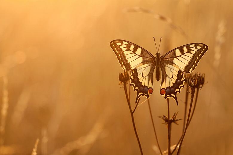 sunrise swallowtail