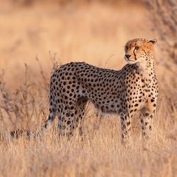 Cheetah nr. 3