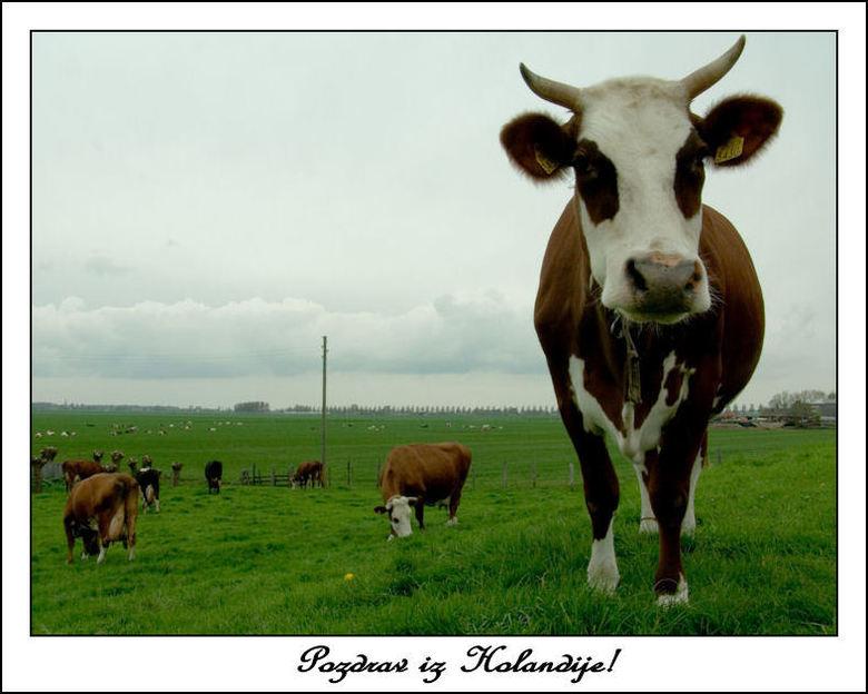 In het gras - <br /> Op een plek, vlakbij mijn dorp loopt een weggetje waar koeien vrij loslopen dus ook over de weg. Zolang de zomer het weer even a
