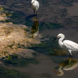 White heron peru (2)
