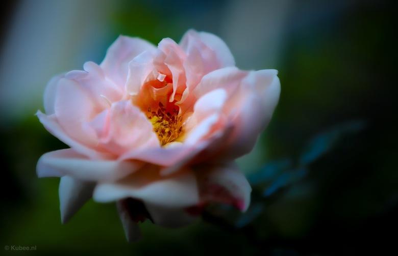 Wilde roos - Een wilde roos in een van de voortuinen in Amsterdam