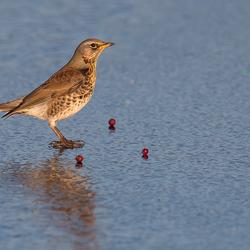 Kramsvogel op het ijs!