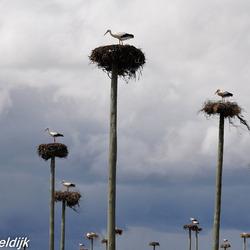Ooievaars op hun nest in de Extremadura, Spanje