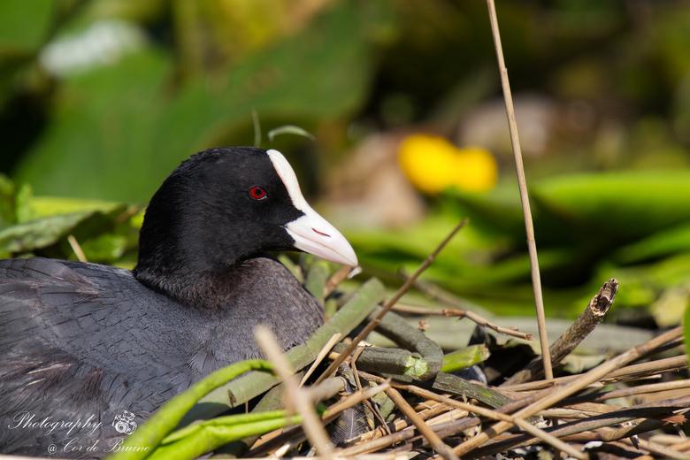 Meerkoet op zijn nest - Deze broedende meerkoet bij ons achter in de sloot. Het nest heeft nu 6 eieren. <br /> Mannetjes en vrouwtjes maken samen een