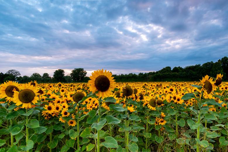 Zonnebloemen wachtend op de zon! - Vanavond lukte het de zon niet om erdoorheen te komen. Maar desondanks was het een mooie zonsondergang door de wolk