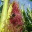 Maïs is voedsel voor insecten