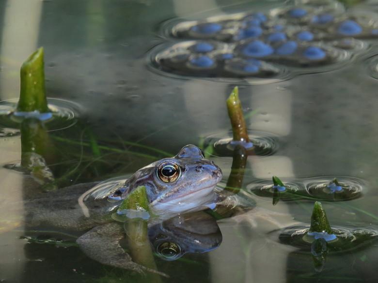 kikker drukte - Het eerste teken van leven (buiten de vissen) is weer volop aanwezig in onze lege vijver. De plantjes van vorig jaar zijn eruit, ze we