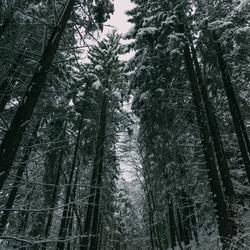 Snowtops