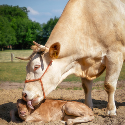 Moeder en kalf
