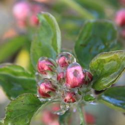 appelbloesem in het ijs