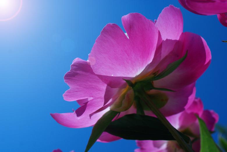 Flower in the sun - Mijn moeder had een prachtige bos pioenrozen gekocht...