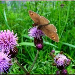 Het Vlindertje