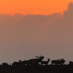 Edelherten tijdens zonsondergang...