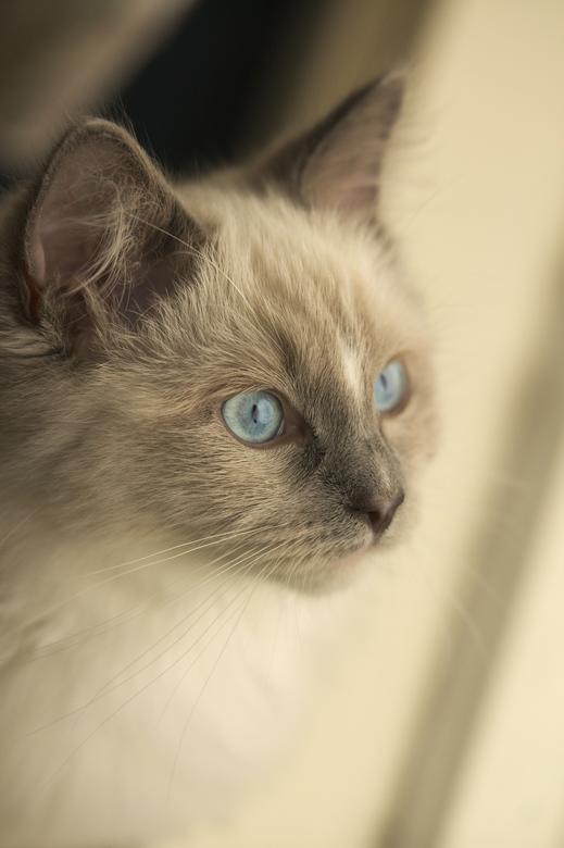 Ragdoll kitten - Een uitdaging op zich....de eerste keer dat ik bij iemand binnen een kat mocht fotograferen en dan ook nog een kitten, toch heel wat