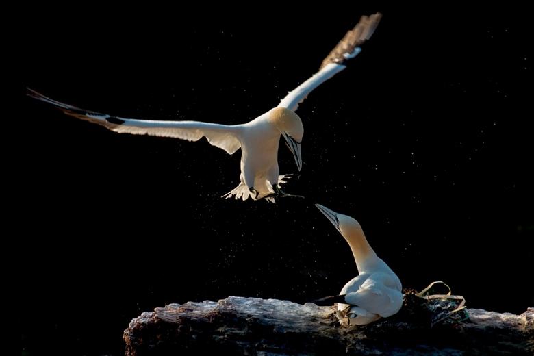 Reunion - Een Jan van Gent ontmoet z'n partner op het nest op een klif op Helgoland