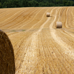 Frans korenveld na de oogst