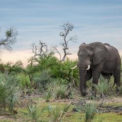 Olifant in de Okavango Delta