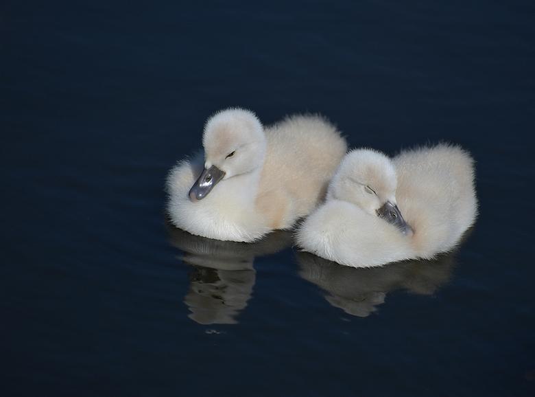 Twee van de negen stuks. - Negen kleine zwaantjes zijn er geboren.<br /> Dit zijn er dan twee van.<br /> <br /> Iedereen bedankt voor de leuke reac