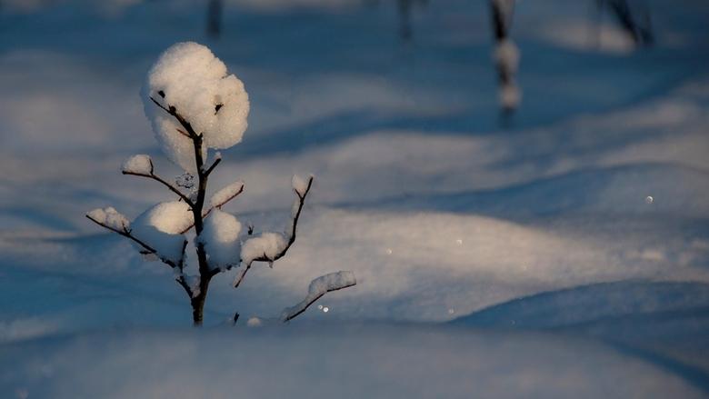 De Verschrikkelijke sneeuwman - Deze is ook van afgelopen zondag en toen ik hier langs liep en dit jonge boompje zag staan , half ondergesneeuwd , en