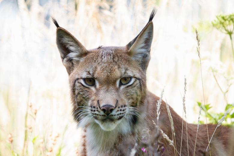 Lynx - Anholter Schweiz -