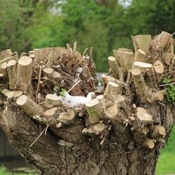 nest in knotwilg 2