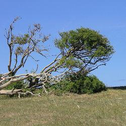 Oude vlierboom.