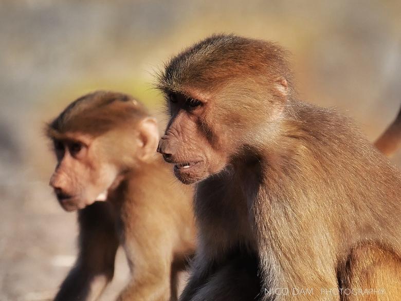 broertjes - Twee bavianen wachten gebroederlijk tot ze aan de beurt zijn om te eten.