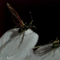 """""""Fruitvliegjes""""(Esdoornbladluis) ze zijn er weer"""