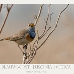 Blauwborst  Luscinia svecica