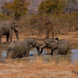 Olifanten stoeien