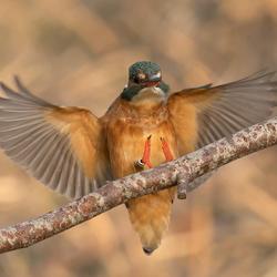 Landing IJsvogel