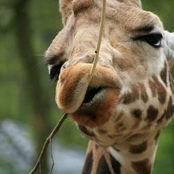 Malle Giraf...
