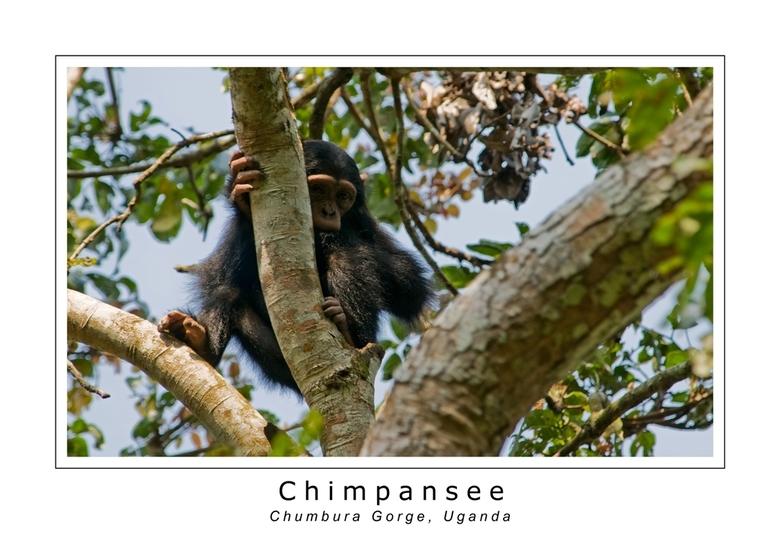 Chimpansee - Voordat ik naar Oeganda ging had ik niet zoveel met apen. Tijdens onze reis door Oeganda is dit compleet veranderd, althans als ze in een