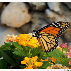 Monarchvlinder