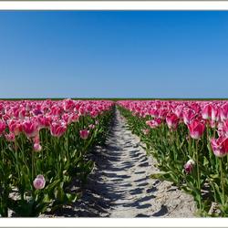 Bollenvelden Friesland
