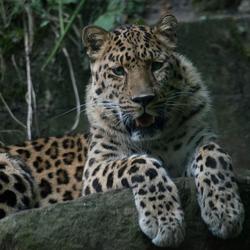 amoer tijger