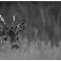 black and white roe deer.