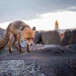 Fox on a Pier (2)