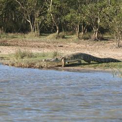 Krokodil zoekt verkoeling