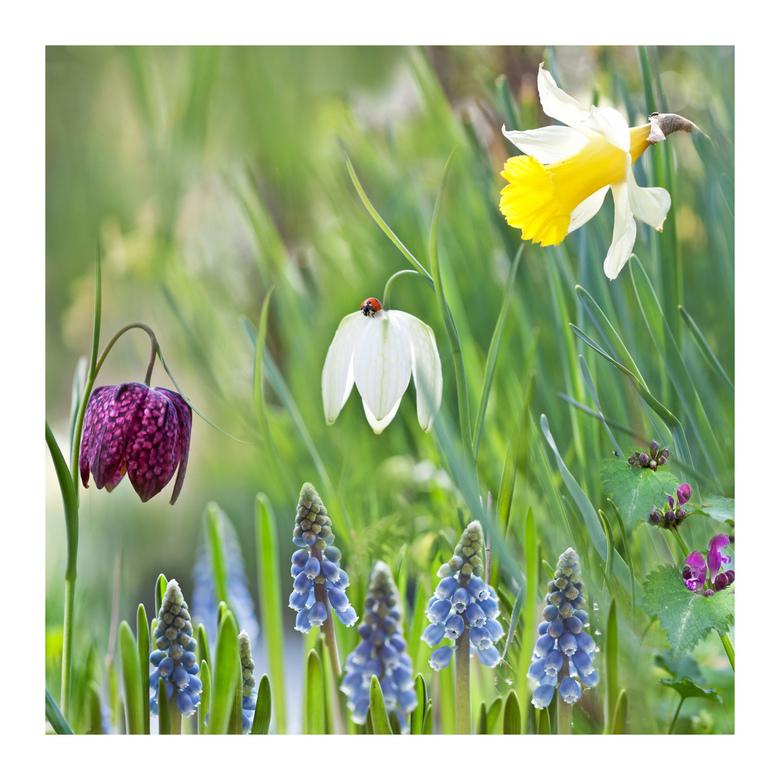 Voorjaarsbollen - Beeld bestaat uit diverse foto&#039;s.<br /> Een beetje heemtuin en een beetje van mezelf....