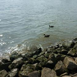 Eenden in het water