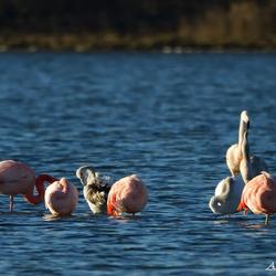 Flamingo`s  Grevelingen 2