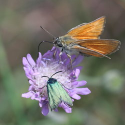 Bruin dikkopje met zomervlinder