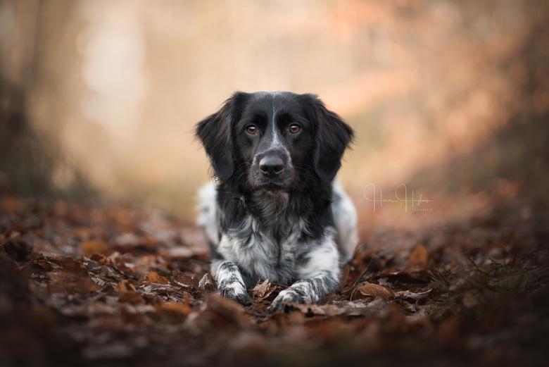 Focus - Een portret van Troy, Friese Stabij.<br /> <br /> Waar ik normaal zoek naar meer dynamiek in de houding van honden, vond ik hier toch de bli