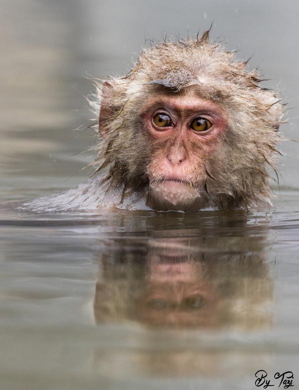 """Snow monkey in hotspring - Nog eentje van hetzelfde aapje. omdat&#039;ie zo leuk is! <img  src=""""/images/smileys/wilt.png""""/>"""