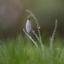 Snowdrop and dewdrops