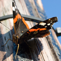 Vlinder (Atalanta)
