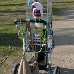 Dit is mijn papegaaien-buggy. Wandeling door Wageningen, Za. 24-3-2018.