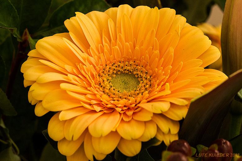 Oranje Gerbera - Close-Up van een Oranje Gerbera.