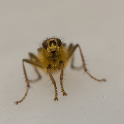 strontvlieg - Scathophaga stercoraria ♂